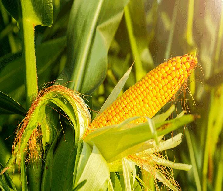 Corn stalk and husk